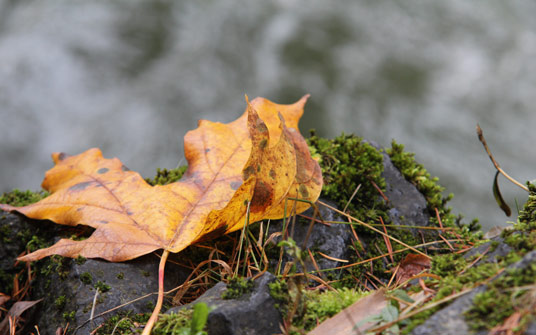 October leaves fall on the White Salmon River