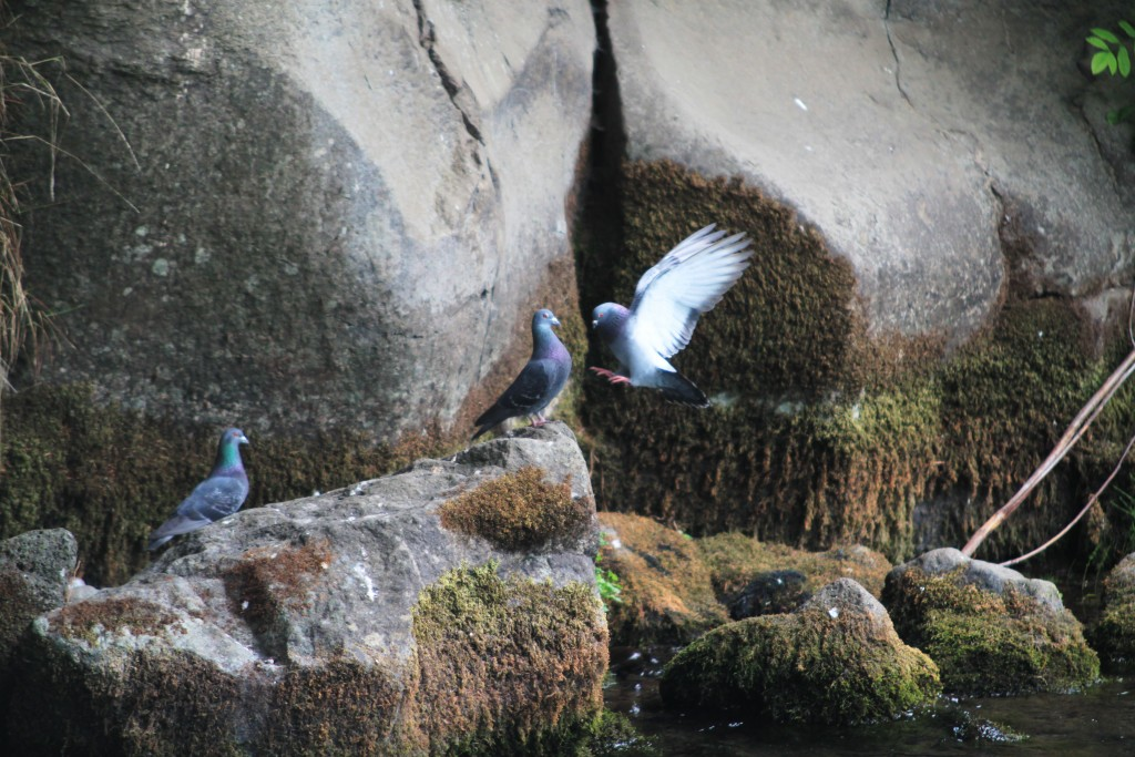 Rock Doves under Husum Bridge on the White Salmon River