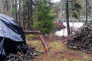 trees cut on white salmon river infected by bark beetle